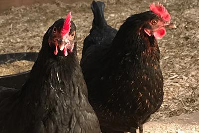 schomberg-chickens