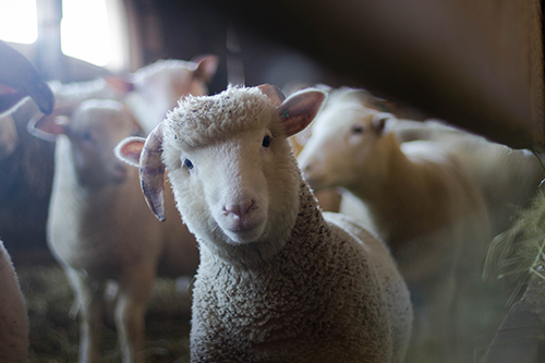 sheep-crop